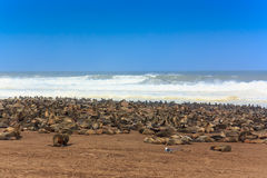 Przylądek futerkowej foki grupa przy plażowym przylądka krzyżem Zdjęcia Stock