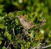 Przylądek Grassbird fotografia royalty free