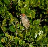 Przylądek Grassbird zdjęcia royalty free