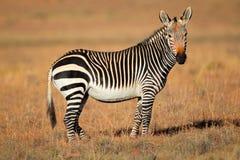 Przylądek Halna zebra Fotografia Stock