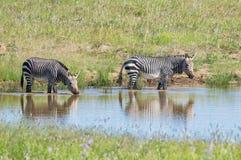 Przylądek Halna zebra obrazy royalty free