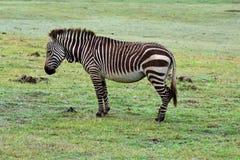Przylądek Halna zebra, Botlierskop rezerwa, Południowa Afryka zdjęcie stock