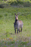 Przylądek Halna zebra wśród wiosna kwiatów Zdjęcie Royalty Free