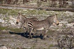 Przylądek Halne zebry zdjęcie stock