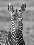 Przylądek Halnej zebry portret obraz royalty free