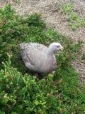 Przylądek Jałowa gąska & x28; Barani bird& x29; zdjęcia royalty free