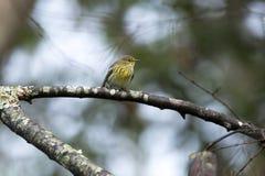 Przylądek May Warbler ptak, spadek migracja, Gruzja, usa zdjęcia stock