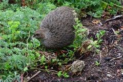 Przylądek Spurfowl, Kirstenbosch ogród botaniczny, Południowa Afryka zdjęcie royalty free