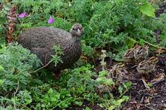 Przylądek Spurfowl, Kirstenbosch ogród botaniczny, Południowa Afryka fotografia stock