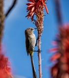 Przylądek Sugarbird obrazy royalty free