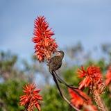 Przylądek Sugarbird fotografia royalty free