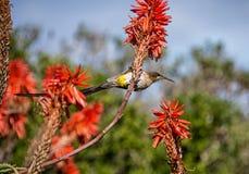 Przylądek Sugarbird zdjęcia stock