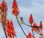 Przylądek Sugarbird zdjęcie royalty free
