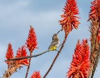 Przylądek Sugarbird obrazy stock