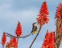 Przylądek Sugarbird obraz stock