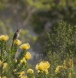 Przylądek Sugarbird, patrzeje dobro na żółtych pincushion fynbos, Kapsztad, Południowa Afryka Zdjęcie Stock