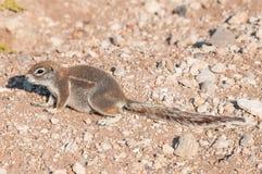 Przylądek zmielona wiewiórka, Xerus inauris w Północnym Namibia Zdjęcia Royalty Free