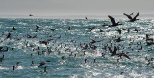 Przylądków kormoranów chwyta ryba przy oceanem afryce kanonkop słynnych góry do południowego malowniczego winnicę wiosna Zdjęcia Royalty Free