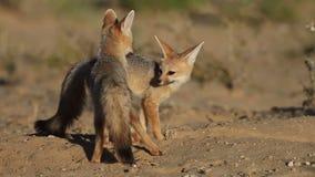 Przylądków lisy