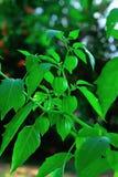 Przylądka agrest jest innym ziele który powszechnie znajduje fotografia stock