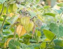 Przylądka agresta rośliny pęcherzycy peruviana zdjęcia stock