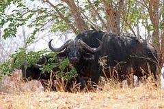 Przylądka bizon obraz stock