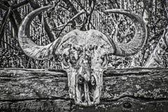 Przylądka bizonu czaszka zdjęcia stock