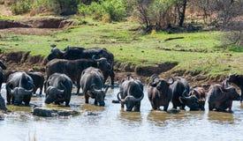Przylądka bizonu pić fotografia stock