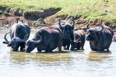 Przylądka bizonu pić zdjęcia royalty free