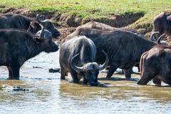 Przylądka bizonu pić obrazy royalty free