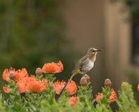 Przylądka Cukrowy ptak, samiec, Promerops cafer, siedzi na pomarańczowym protea Obrazy Royalty Free