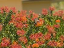 Przylądka Cukrowy ptak z długiego ogonu spływaniem Zdjęcie Royalty Free