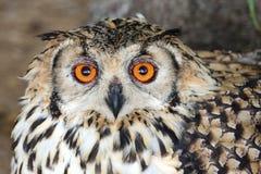 Przylądka Eagle sowy ptak Zdjęcia Royalty Free