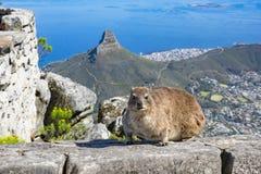 Przylądka góralka dassie stołu góra Obrazy Royalty Free