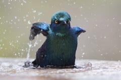Przylądka glansowany szpaczek kąpać w płytka woda basenie na gorącym dniu Fotografia Stock