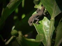 Przyl?dka Kar?owaty gekon w cytryny drzewie fotografia royalty free