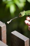 Przylądka Karłowaty kameleon Fotografia Royalty Free