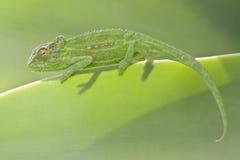 Przylądka Karłowaty kameleon Obraz Stock
