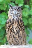 Przylądka orła sowa Zdjęcia Stock