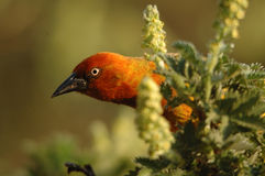 przylądek capensis ploceus weaver Fotografia Royalty Free