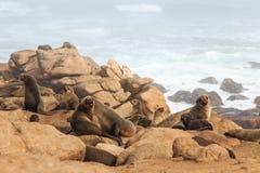 Przylądek Futerkowa foka Fotografia Stock