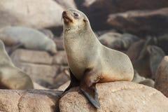 Przylądek Futerkowa foka Zdjęcie Stock
