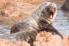 Przylądek Futerkowe foki Zdjęcia Royalty Free