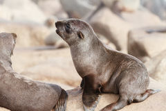 Przylądek Futerkowej foki ciucia Zdjęcia Stock