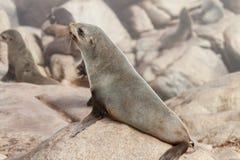 Przylądek Futerkowej foki ciucia Zdjęcie Stock