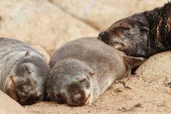 Przylądek Futerkowej foki ciucie Obrazy Royalty Free