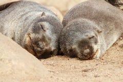 Przylądek Futerkowej foki ciucie Fotografia Royalty Free