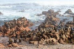 Przylądek futerkowej foki kolonia Fotografia Royalty Free