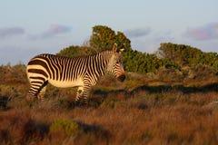 Przylądek Halna zebra Zdjęcie Royalty Free