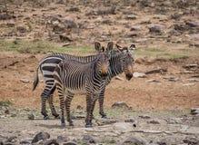 Przylądek Halna zebra Obraz Royalty Free